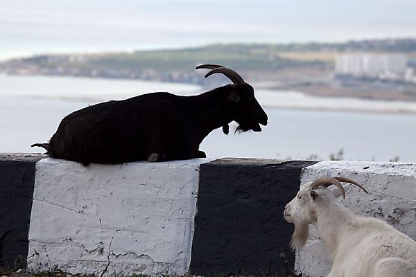 Отдых коз и козлов