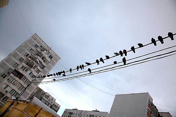 Голодные голуби поджидают своих жертв