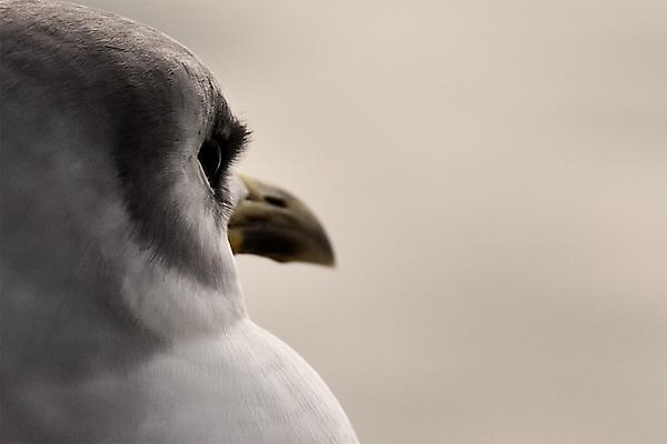 Портрет печальной гламурной чайки