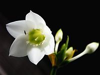 Бабушкин цветок.