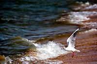 Чайка летит